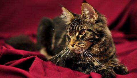 Кошка, мейн-кун, лежа, красивая, пушистая