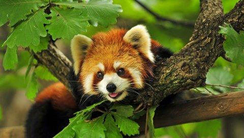 Красная панда, трава, листья, ветви