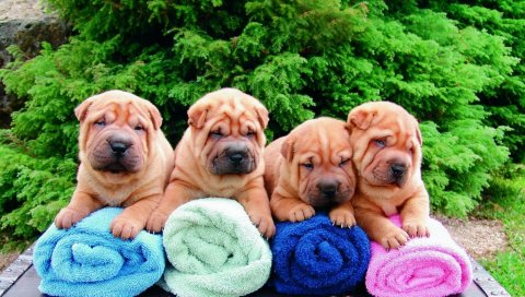 Шар-пей, щенки, много, полотенца, сидят