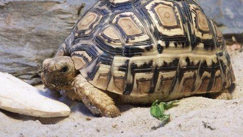 Черепаха, песок, раковина, большой