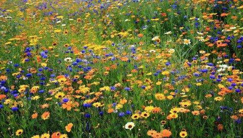 ромашки, васильки, цветы, луг, лето, природа