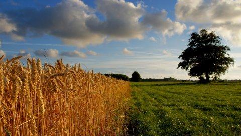 Уши, желтый, золото, поле, облака, дерево, трава