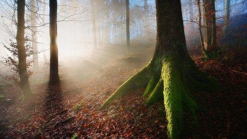Дерево, деревья, корни, мох, туман, рассвет