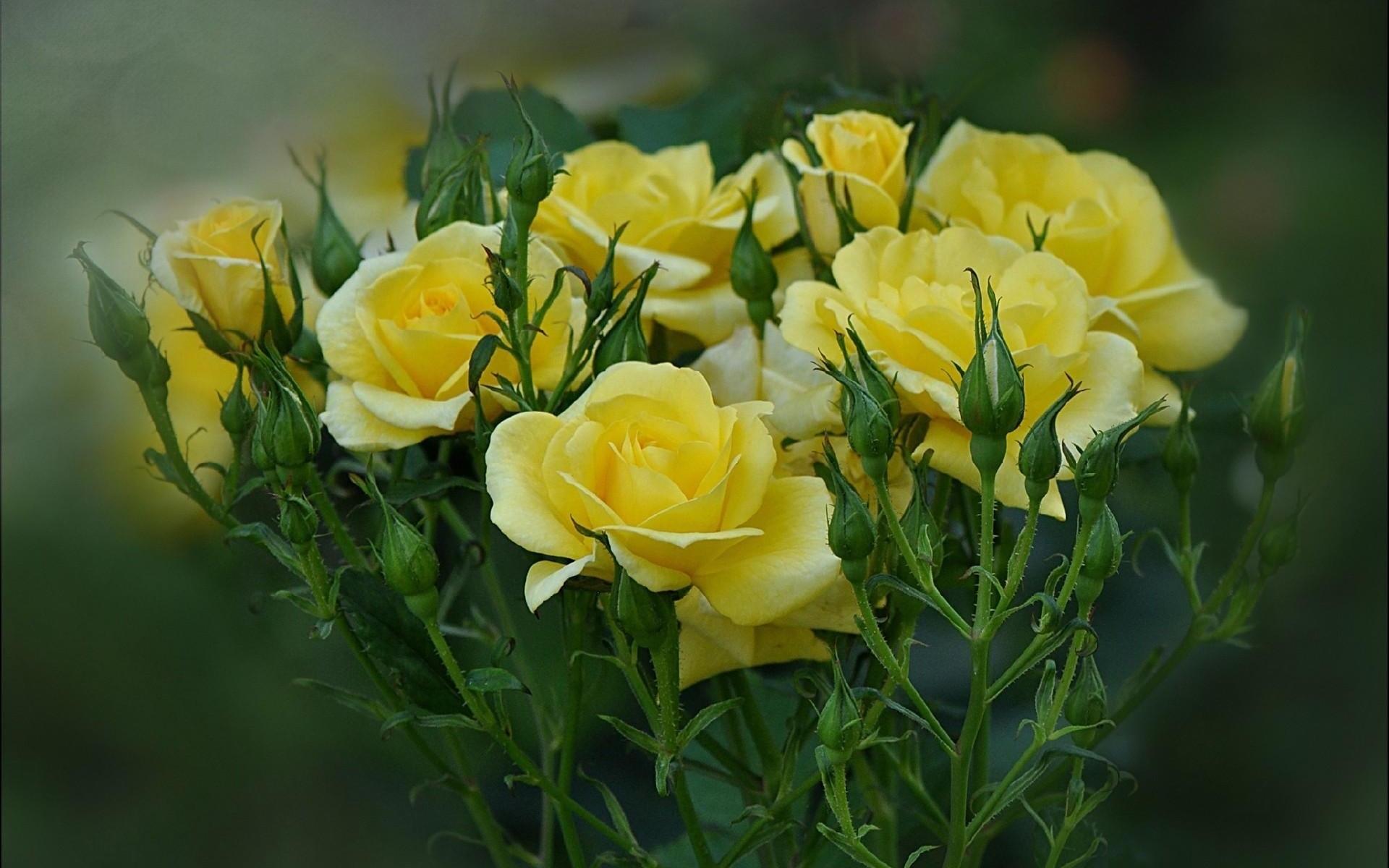 Картинки Розы, цветы, букет, размытие фото и обои на рабочий стол