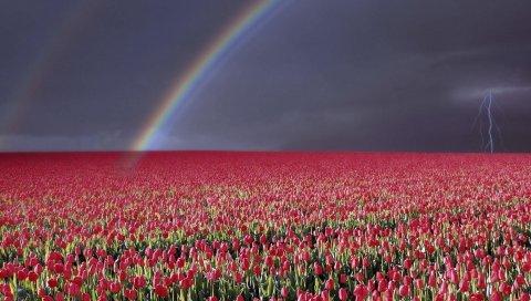 Тюльпаны, цветы, поле, много, небо, радуга, молния