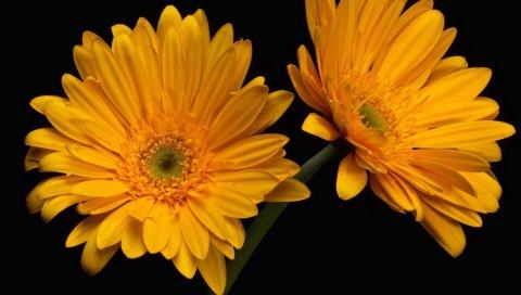 Герберы, цветы, букет, пара, макро