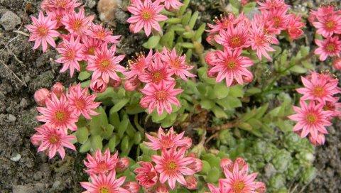Цветы, розовые, клумбы, почва