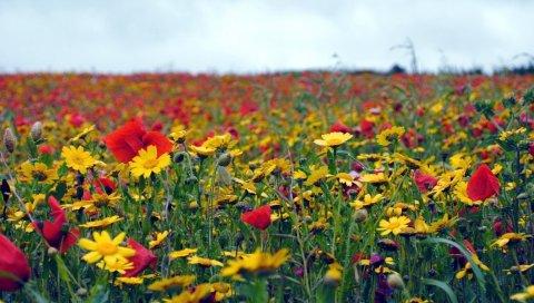 Маки, цветы, поле, лето, настроение