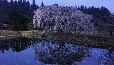 Восточная вишня, сумерки, цветение, озеро, побережье, ветви, лепестки, поверхность