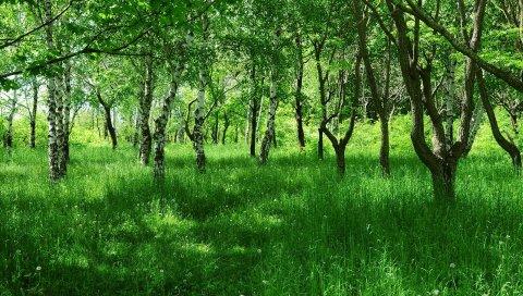Березы, молодые, лето, трава, зеленый, проспект