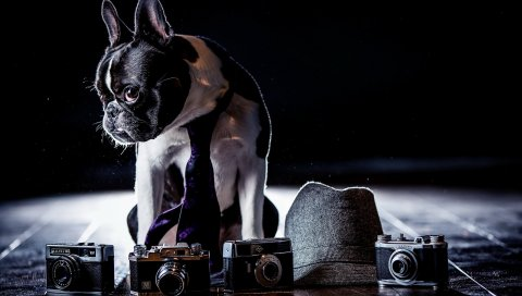 Бульдог, костюм, камеры, тень, галстук, собака