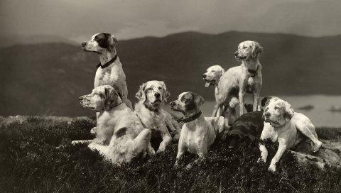 Собаки, набор, высота, семья, черно-белый
