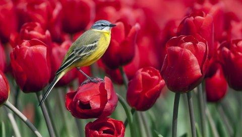 Птица, тюльпаны, цветы