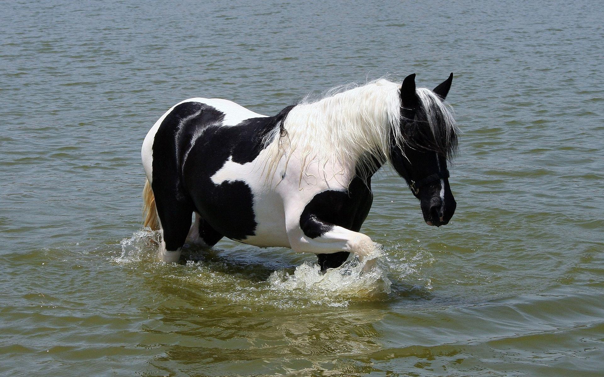 Картинки Лошадь, пятнистый, прогулка, фото и обои на рабочий стол