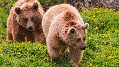 медведь, древесины , пара, прогулки, цветы, лето