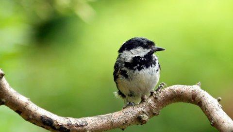 птица, маленький, веточка, дерево