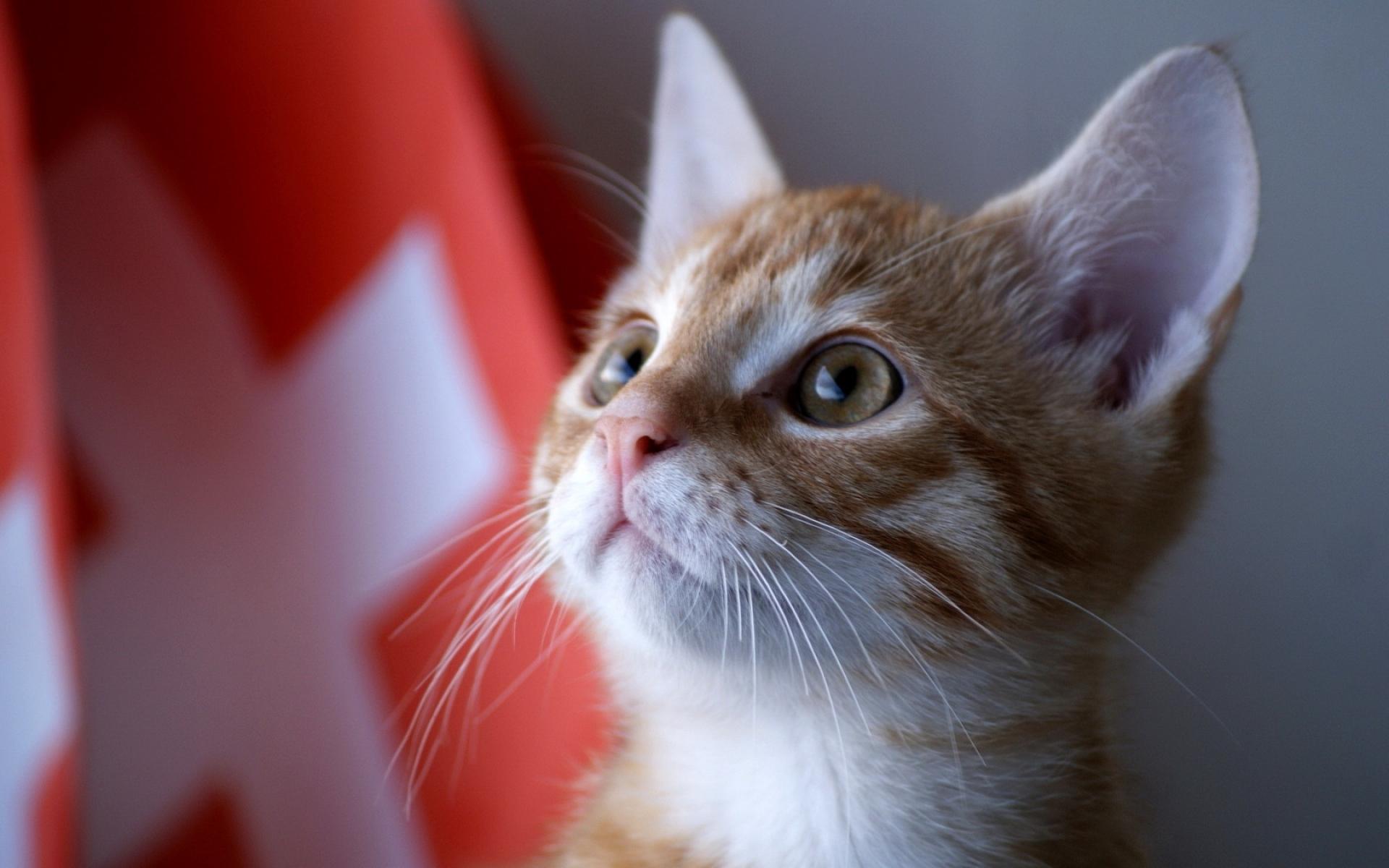 Картинки котенок, лицо, глаза, наблюдая фото и обои на рабочий стол