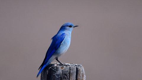 синяя птица, цвет, птица, дерево пень, сидя, крыла