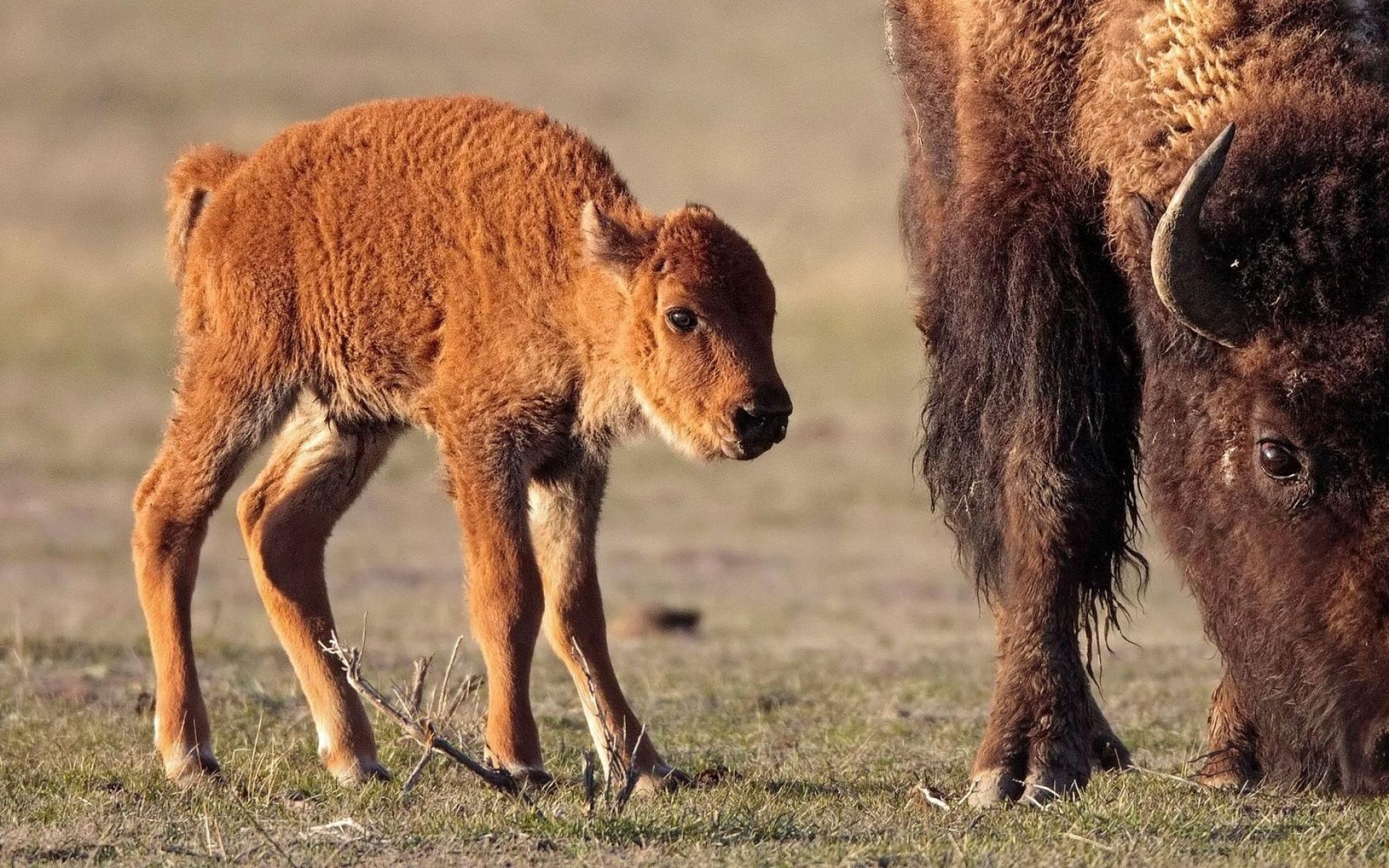 Картинки буйвол, теленок, трава, прогулка, питание животные фото и обои на рабочий стол