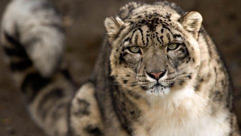 снежный барс, взгляд, хищник, большая кошка