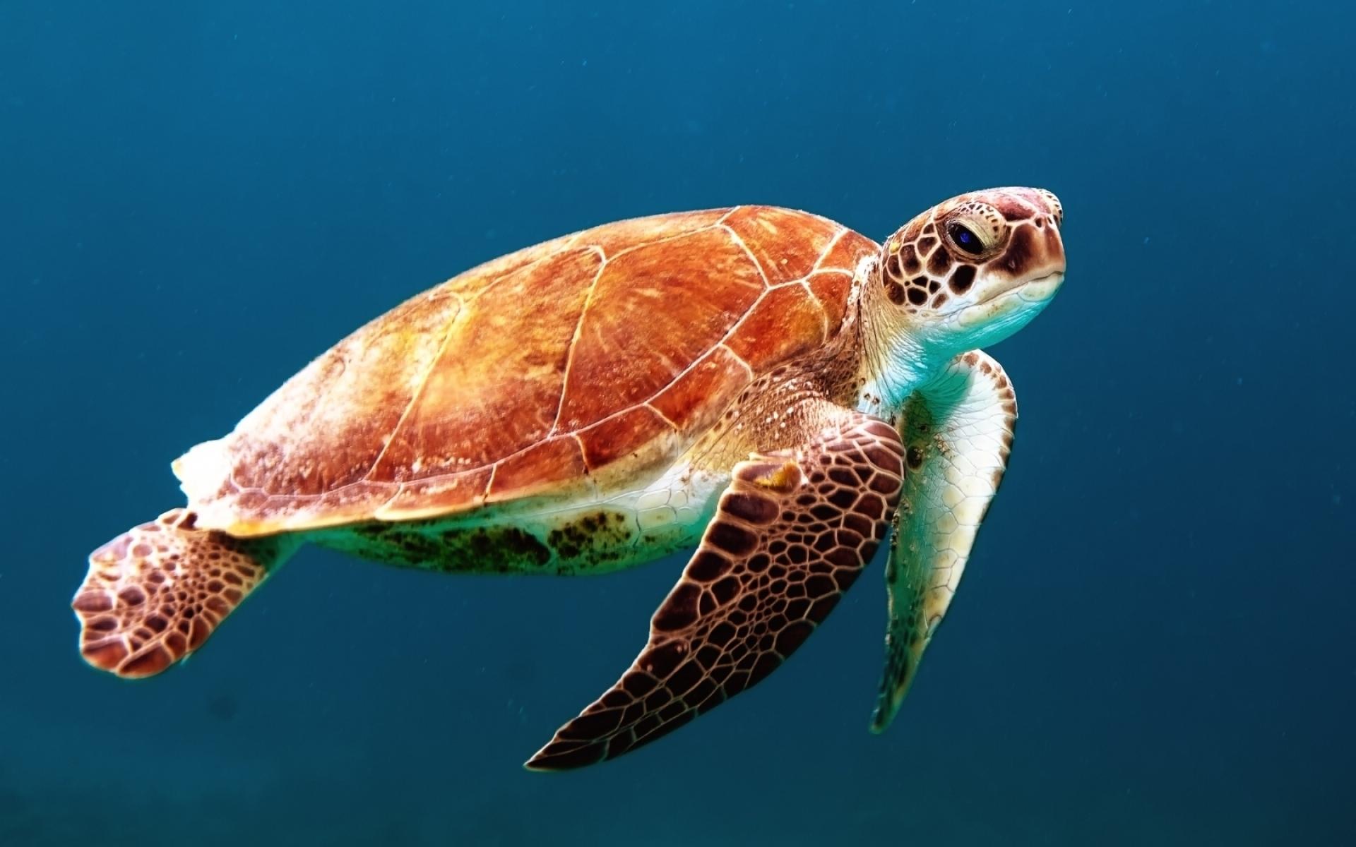 Картинки черепахи, подводный, плавание, оболочки фото и обои на рабочий стол