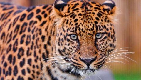 Леопард, цвет, пятнистый, хищник, большой кот