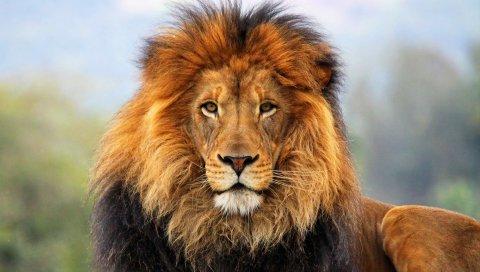 Лев, грива, глаза, ожидание, большой кот, плотоядное животное, король зверей