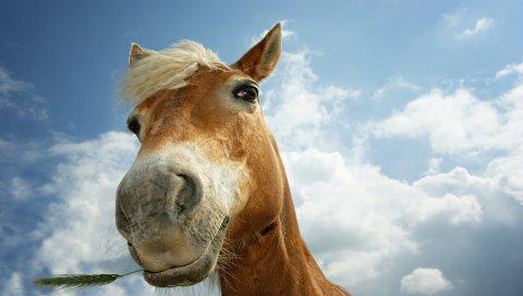 Лошадь, небо, облака, грива, голова