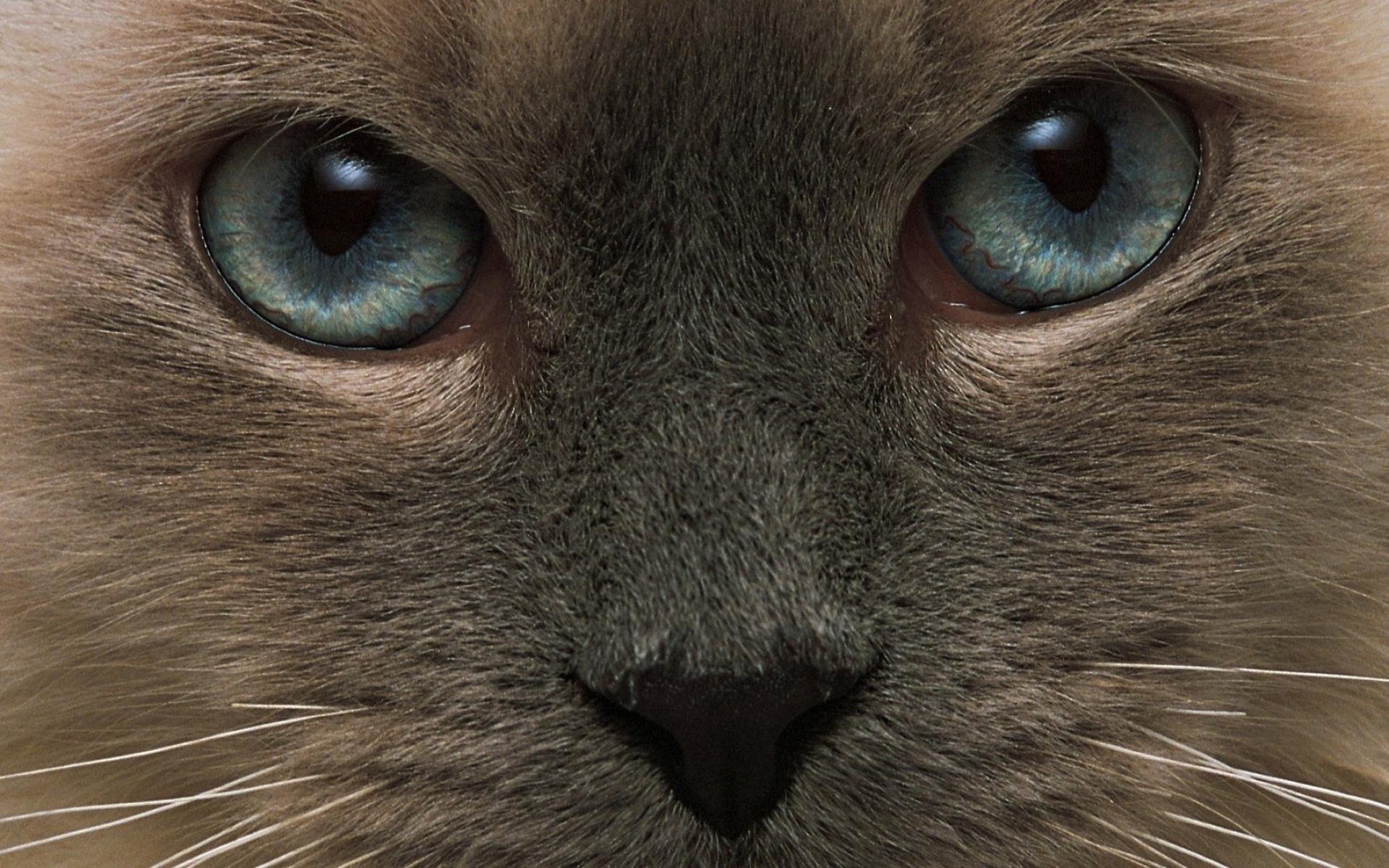 кошка глаза шерсть  № 1963672 бесплатно