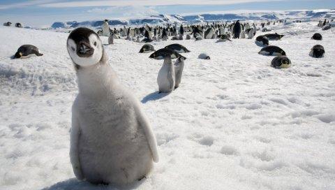 Пингвины, многие, птицы, снег, холод