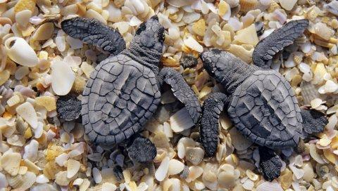 Черепахи, пляж, камни, раковина