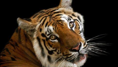 Тигр, лицо, большой кот, тень