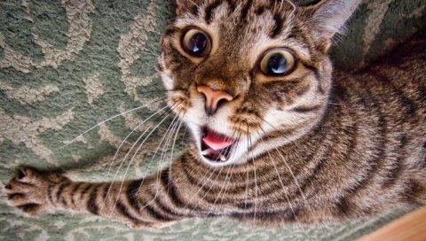 Кошка, лицо, полосатый, язык, растяжка