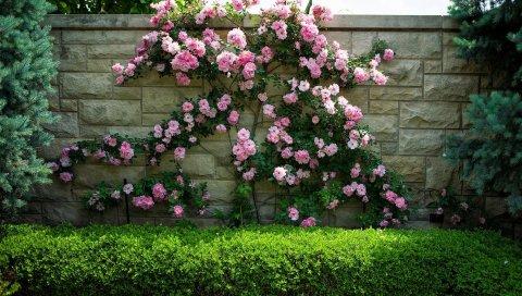 Розы, кустарник, стена, цветение, зеленый, иголки
