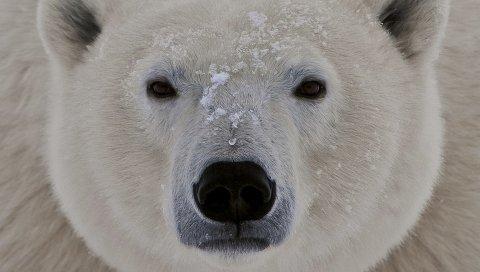 Белый медведь, лицо, жир, глаза, сонливость