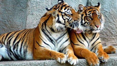 Тигр, пара, хищники, полосатые, большие кошки