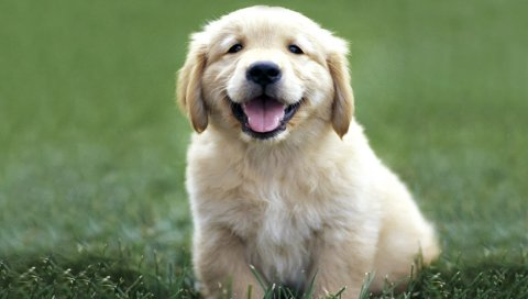 Собаки, лабрадор, цвет, трава, щенок