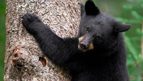 Медведь, дерево, обниматься, цвет, мех