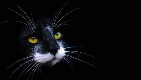 Кошка, лицо, цвет, тень, темнота