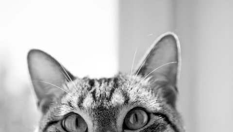 Кошка, морда, уши, глаза, скрыть