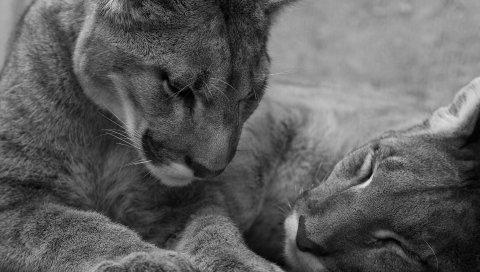 Львы, ложь, лицо, уход, черно-белый