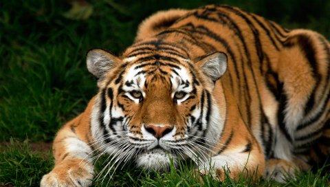 Тигр, лицо, большой кот, плотоядное животное, прогулка