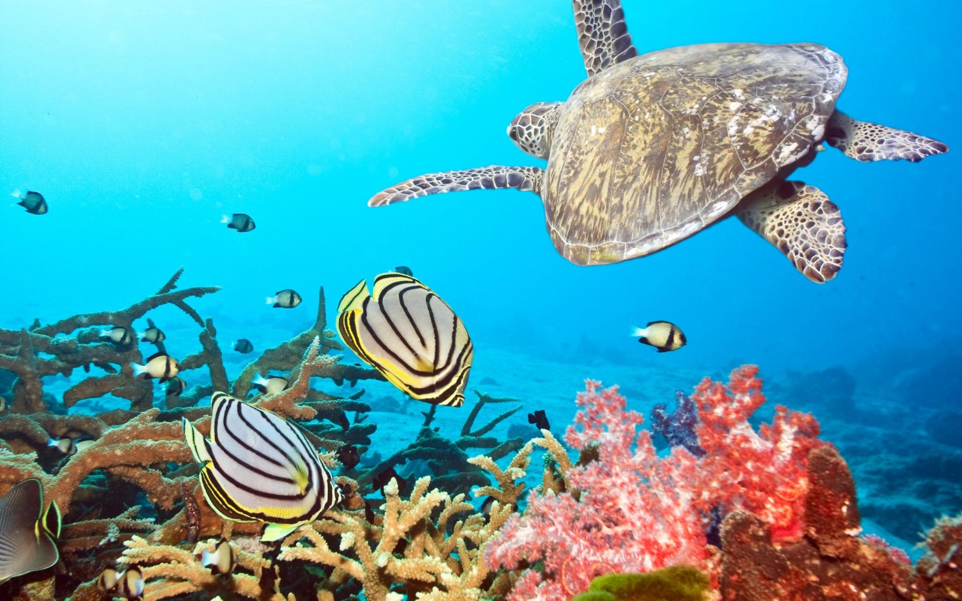 Картинки Черепаха, море, океан, подводный, плавать фото и обои на рабочий стол