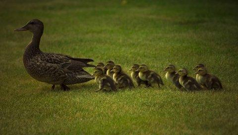Утка, молодые, утки, трава, прогулки, семья, уход