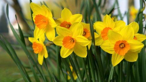 нарциссы, цветы, яркие, клумба, весна
