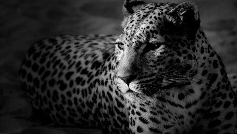 леопард, цвета, пятнистый, черный и белый