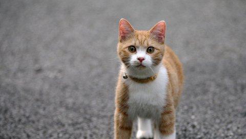 кошки, лицо, ноги, цвет, дороги