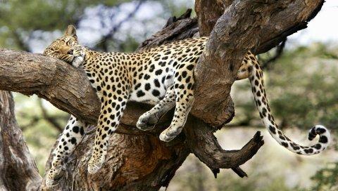 леопард, лежа, большая кошка, хищник