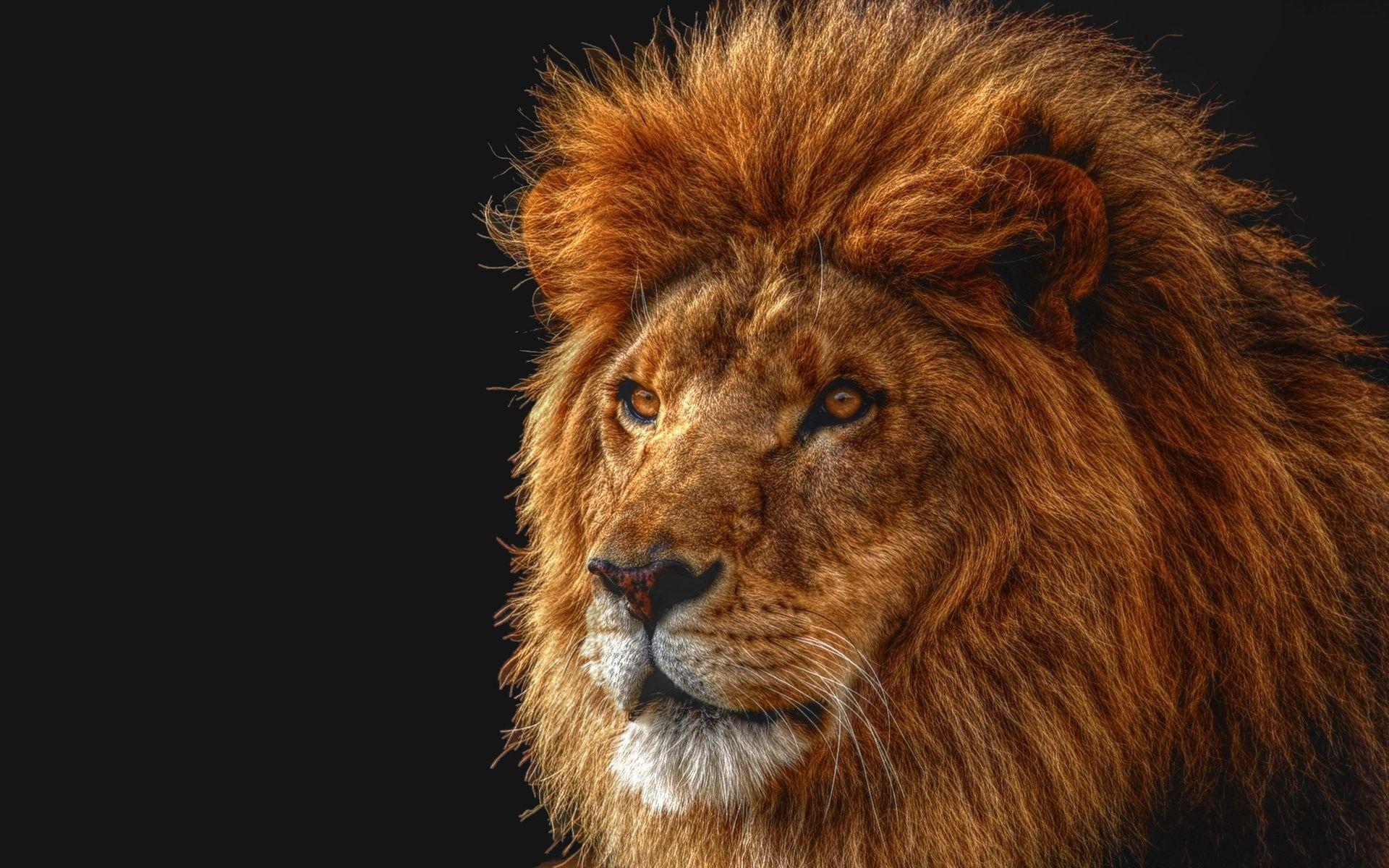 Картинки лев, тень, грива, глаз, царь зверей, хищник фото и обои на рабочий стол