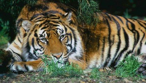 тигр, лежа, ветвь, дерева, остальной